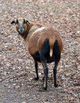 Ein Schaf in Kamerun