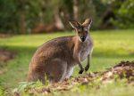 Ein Wallaby in Australien